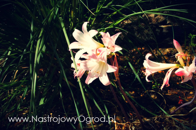 naga-lilia-Lycoris squamigera-1