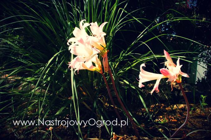 naga-lilia-Lycoris squamigera-2