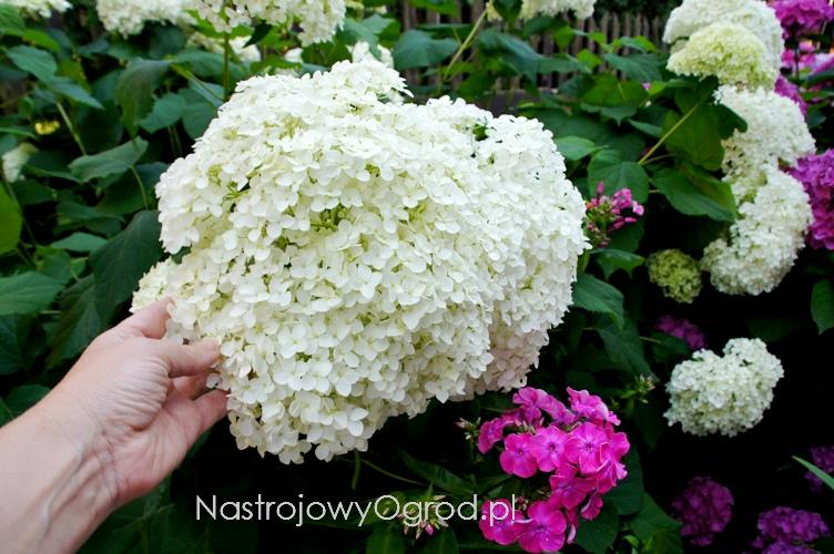 kwiaty-ogrodowe-wieloletnie-10