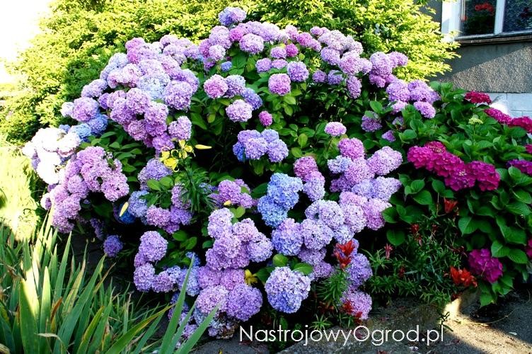 kwiaty-ogrodowe-wieloletnie-14