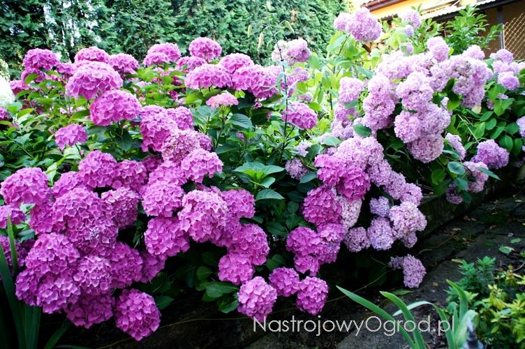 kwiaty-ogrodowe-wieloletnie-8
