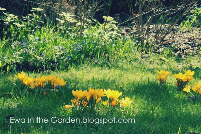 kwiaty-cebulowe-2