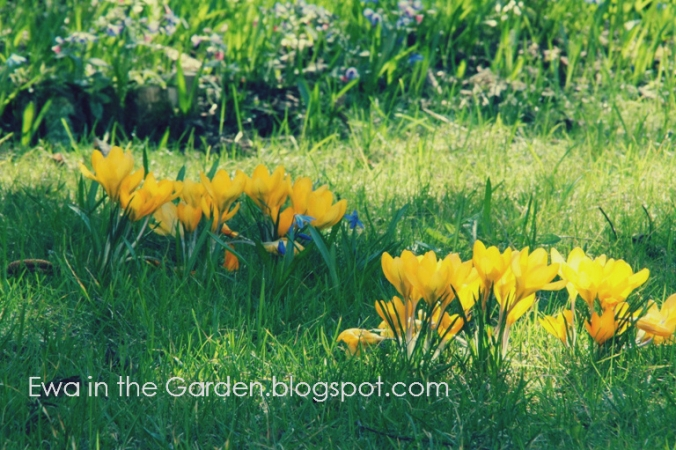 kwiaty-cebulowe-3