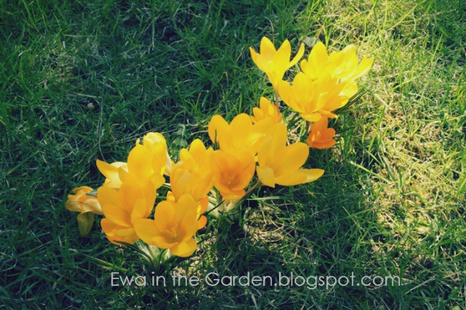 kwiaty-cebulowe-5