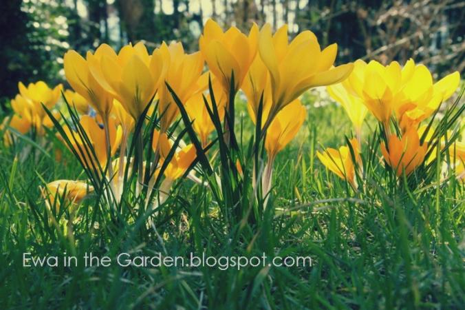 kwiaty-cebulowe-6