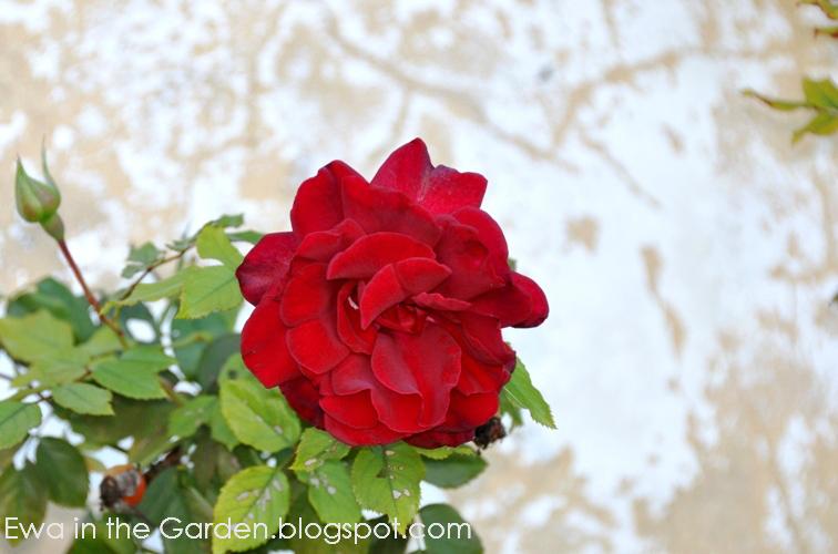 kwiaty-w-ogrodzie-1